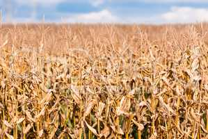 Dry brown corn stalks on blurred field