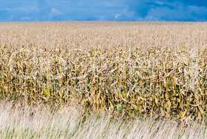 Dry field of corn stalks on dark cloudy sky