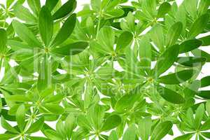 Viele grüne Waldmeisterblätter als Hintergrund