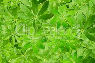Hintergrund komplett aus Waldmeister Blättern