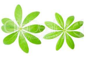 Zwei Waldmeister Blätter isoliert vor weißem Hintergrund