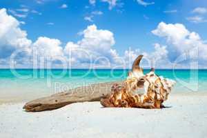 Große Muschel und Treibholz am Traumstrand