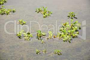 floating duckweeds