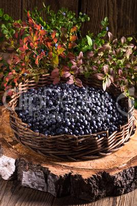 European blueberry