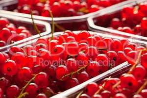 Nahaufnahme roter Johannisbeeren in Kunststoffschalen