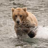 Bear splashing through river with paw raised