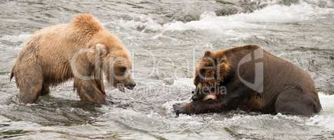 Bear watches another eat salmon in river