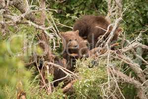 Brown bear cub resting in dead tree