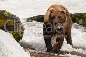 Brown bear eating salmon tail beside rocks
