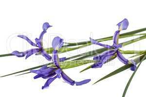 Iris flowers, isolated on white