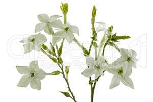 Flowers of tobacco scented, lat.Nicotiana, isolated on white bac
