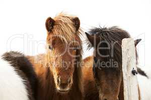 Portrait of an Icelandic pony with a brown mane