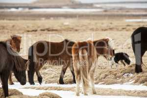 Icelandic horses on a meadow