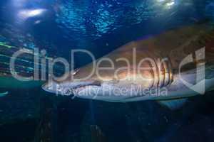 Tiger san shark