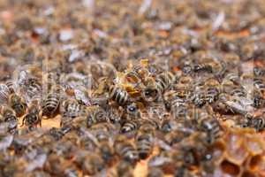 Honeycomb with honey and bees