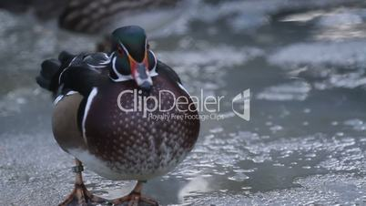 Wood duck (Aix sponsa) swim in lake with ice at winter season