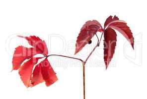 Twig of autumn grapes leaves. Parthenocissus quinquefolia foliag