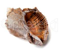 Shell from rapana venosa