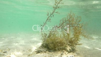 Seaweed Growing Underwater
