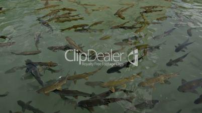 Holy fishes of Holy Lake (Fish Lake), Urfa