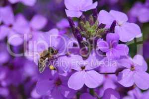 Honigbienbe beim Naschen