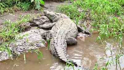 Wildlife Wild Animal Reptile American Crocodile Sleeping In Costa Rica