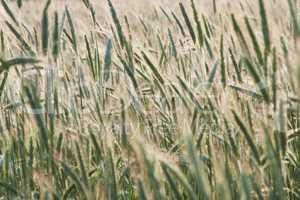 Getreide Ähren Feld