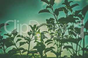 An image of basil leafs tree on blue sky with sunlight
