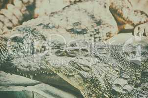Nile Crocodile very closeup image capture.