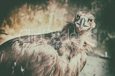 Close up portrait of majestic steppe eagle