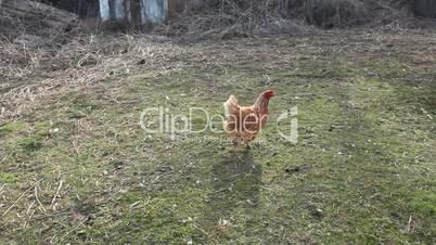 Hen runs on the village court yard