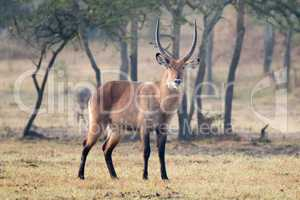Male waterbuck with horns staring at camera
