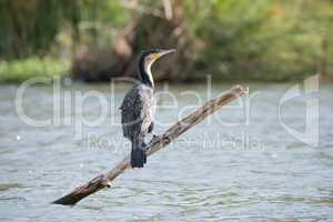 Greater white-breasted cormorant on branch in lake