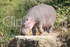 Hippopotamus walks on to rock among bushes