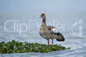 Egyptian goose perched on floating green plant