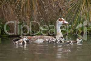 Egyptian goose with four goslings on lake