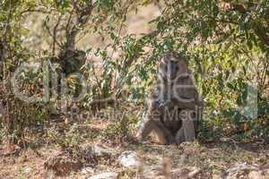 Baboon sits in shade with arms crossed