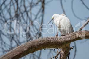 Cattle egret looking down with open beak