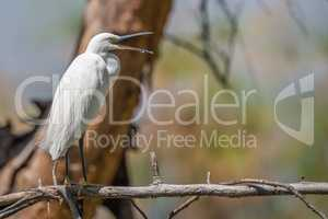 Cattle egret on dead branch opening beak