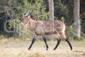 Male waterbuck with curved horns gallops past