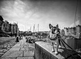 Boston Terrier at the port