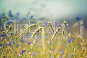 Weizen und Kornblumen