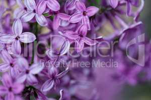 Blühender Flieder