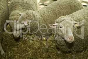 Sheeps at livestock exhibition