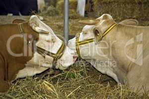 Cows at livestock exhibition