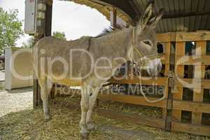 Donkey at livestock exhibition