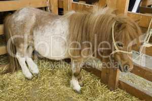 Pony at livestock exhibition