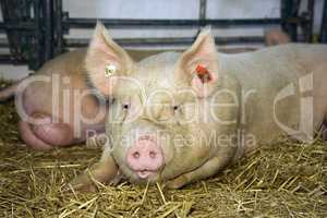 Pig at livestock exhibition