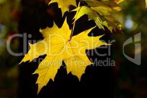 yellow autumn leaves on dark background