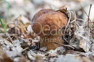 Porcini fungi